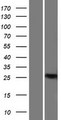 BCL11A Protein - Western validation with an anti-DDK antibody * L: Control HEK293 lysate R: Over-expression lysate