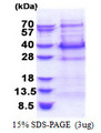 BCL7C Protein