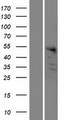BEND7 Protein - Western validation with an anti-DDK antibody * L: Control HEK293 lysate R: Over-expression lysate