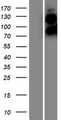 BFSP1 / Filensin Protein - Western validation with an anti-DDK antibody * L: Control HEK293 lysate R: Over-expression lysate