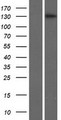 BRPF3 Protein - Western validation with an anti-DDK antibody * L: Control HEK293 lysate R: Over-expression lysate