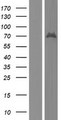 BSDC1 Protein - Western validation with an anti-DDK antibody * L: Control HEK293 lysate R: Over-expression lysate