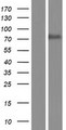 BUD13 Protein - Western validation with an anti-DDK antibody * L: Control HEK293 lysate R: Over-expression lysate
