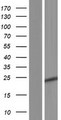 C11orf88 Protein - Western validation with an anti-DDK antibody * L: Control HEK293 lysate R: Over-expression lysate