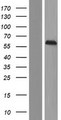 C14orf118 Protein - Western validation with an anti-DDK antibody * L: Control HEK293 lysate R: Over-expression lysate