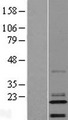 C14orf180 Protein - Western validation with an anti-DDK antibody * L: Control HEK293 lysate R: Over-expression lysate