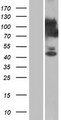 C15orf39 Protein - Western validation with an anti-DDK antibody * L: Control HEK293 lysate R: Over-expression lysate
