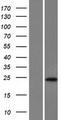 C17orf51 Protein - Western validation with an anti-DDK antibody * L: Control HEK293 lysate R: Over-expression lysate