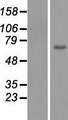 C1orf177 Protein - Western validation with an anti-DDK antibody * L: Control HEK293 lysate R: Over-expression lysate