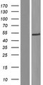 C1orf27 Protein - Western validation with an anti-DDK antibody * L: Control HEK293 lysate R: Over-expression lysate