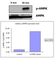 C1QTNF5 / CTRP5 Protein - Recombinant human CTRP5 activates AMPK signaling pathway in rat L6 myoblastes. Differentiated rat L6 myoblastes were stimulated with control buffer or 0.5 ug/ml recombinant human CTRP5 for 30 minutes. The cell lysate was subjected to do immunoblotting with antibodies against pAMPK and total AMPK.