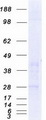 Purified recombinant protein C1QTNF6 was analyzed by SDS-PAGE gel and Coomassie Blue Staining