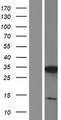 C3orf33 Protein - Western validation with an anti-DDK antibody * L: Control HEK293 lysate R: Over-expression lysate