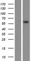 C6orf146 Protein - Western validation with an anti-DDK antibody * L: Control HEK293 lysate R: Over-expression lysate
