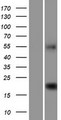 C9orf40 Protein - Western validation with an anti-DDK antibody * L: Control HEK293 lysate R: Over-expression lysate