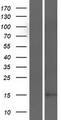 C9orf69 Protein - Western validation with an anti-DDK antibody * L: Control HEK293 lysate R: Over-expression lysate