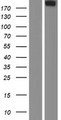 CABIN1 Protein - Western validation with an anti-DDK antibody * L: Control HEK293 lysate R: Over-expression lysate