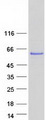 Purified recombinant protein CAMK2G was analyzed by SDS-PAGE gel and Coomassie Blue Staining