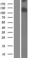 CAPN15 / SOLH Protein - Western validation with an anti-DDK antibody * L: Control HEK293 lysate R: Over-expression lysate