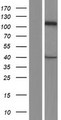 CASK Protein - Western validation with an anti-DDK antibody * L: Control HEK293 lysate R: Over-expression lysate