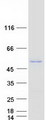 CBWD3 Protein - Purified recombinant protein CBWD3 was analyzed by SDS-PAGE gel and Coomassie Blue Staining