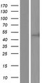 CC2D2B Protein - Western validation with an anti-DDK antibody * L: Control HEK293 lysate R: Over-expression lysate