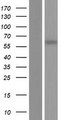 CCDC105 Protein - Western validation with an anti-DDK antibody * L: Control HEK293 lysate R: Over-expression lysate