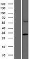 CCDC122 Protein - Western validation with an anti-DDK antibody * L: Control HEK293 lysate R: Over-expression lysate