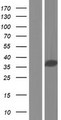CCDC137 Protein - Western validation with an anti-DDK antibody * L: Control HEK293 lysate R: Over-expression lysate
