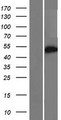 CCDC149 Protein - Western validation with an anti-DDK antibody * L: Control HEK293 lysate R: Over-expression lysate