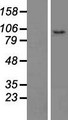 CCDC186 / C10orf118 Protein - Western validation with an anti-DDK antibody * L: Control HEK293 lysate R: Over-expression lysate