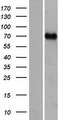 CCDC37 Protein - Western validation with an anti-DDK antibody * L: Control HEK293 lysate R: Over-expression lysate