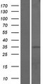 CCDC42B Protein - Western validation with an anti-DDK antibody * L: Control HEK293 lysate R: Over-expression lysate