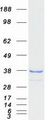 Purified recombinant protein TACO1 was analyzed by SDS-PAGE gel and Coomassie Blue Staining
