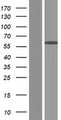 CCDC64B Protein - Western validation with an anti-DDK antibody * L: Control HEK293 lysate R: Over-expression lysate