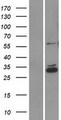 CCDC90B Protein - Western validation with an anti-DDK antibody * L: Control HEK293 lysate R: Over-expression lysate