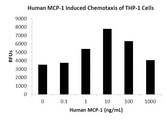 CCL2 / MCP1 Protein