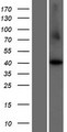 CCNI2 Protein - Western validation with an anti-DDK antibody * L: Control HEK293 lysate R: Over-expression lysate