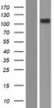 CD101 Protein - Western validation with an anti-DDK antibody * L: Control HEK293 lysate R: Over-expression lysate
