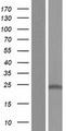 CD164L2 Protein - Western validation with an anti-DDK antibody * L: Control HEK293 lysate R: Over-expression lysate