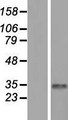 CDYL Protein - Western validation with an anti-DDK antibody * L: Control HEK293 lysate R: Over-expression lysate