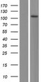 CFAP58 / CCDC147 Protein - Western validation with an anti-DDK antibody * L: Control HEK293 lysate R: Over-expression lysate