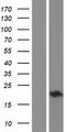 CHAC2 Protein - Western validation with an anti-DDK antibody * L: Control HEK293 lysate R: Over-expression lysate