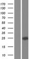 CLEC2L Protein - Western validation with an anti-DDK antibody * L: Control HEK293 lysate R: Over-expression lysate