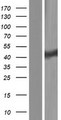 CLP1 Protein - Western validation with an anti-DDK antibody * L: Control HEK293 lysate R: Over-expression lysate
