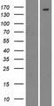 CML / BCR Protein - Western validation with an anti-DDK antibody * L: Control HEK293 lysate R: Over-expression lysate