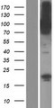 CNKSR1 Protein - Western validation with an anti-DDK antibody * L: Control HEK293 lysate R: Over-expression lysate