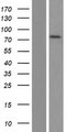 CNNM3 Protein - Western validation with an anti-DDK antibody * L: Control HEK293 lysate R: Over-expression lysate