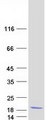 COMMD6 Protein - Purified recombinant protein COMMD6 was analyzed by SDS-PAGE gel and Coomassie Blue Staining