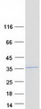 COPS7A Protein - Purified recombinant protein COPS7A was analyzed by SDS-PAGE gel and Coomassie Blue Staining